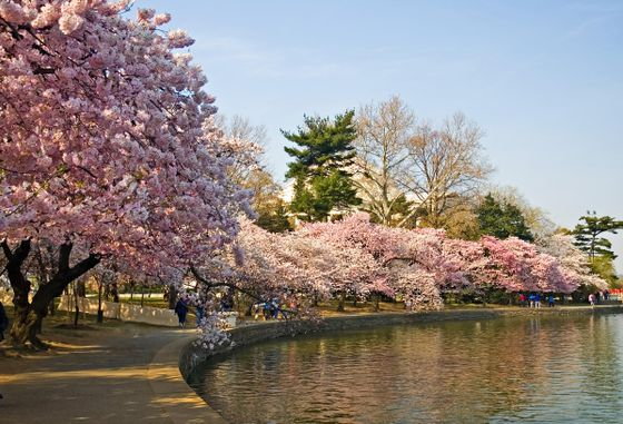 -japanese-cherry-blossom-tree