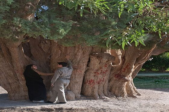the-oldest-tree-in-the-world