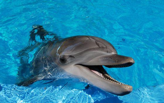Mossad-delfin - hvor får jeg kjøpt tepper?
