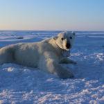 «97 % av klimaforskerne tok feil!» Hilsen oss isbjørner