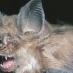 Viruset kom trolig fra forsøk på en flaggermus i laboratorier i Wuhan