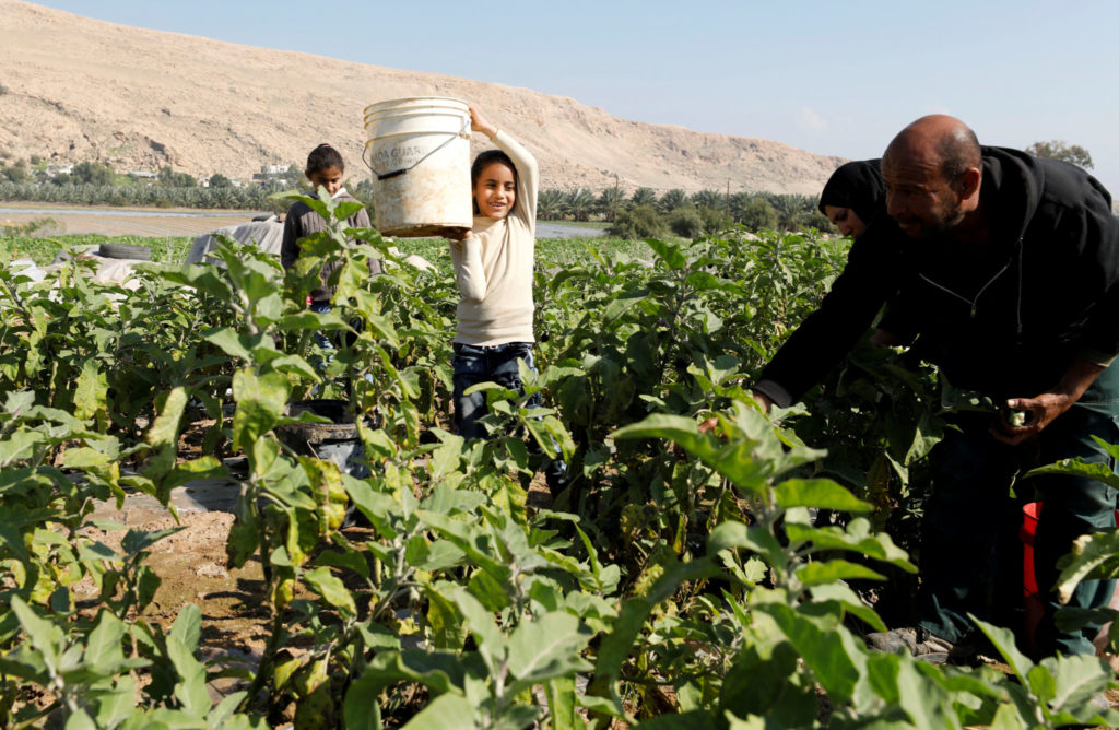 FILE PHOTO: Palestinian farmer Mohammad Masaeed picks up eggplants with his family in his farm in the village of Al-Jiftlik near Jericho in the Israeli-occupied West Bank February 5, 2020. Picture taken February 5, 2020. REUTERS/Mussa Qawasma/File Photo